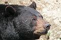 Ursus americanus PO 02.jpg