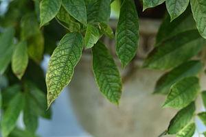 Annonaceae - Uvaria ovata is part of the Family, Annonaceae.