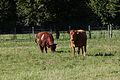 Vaches armoricaine et froment du Léon, Écomusée du pays de Rennes, France.jpg