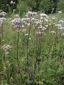 Valeriana sambucifolia ssp. salina Simo, Finland 14.07.2013.jpg