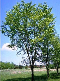 <i>Ulmus americana</i> Valley Forge Elm cultivar