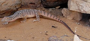 Desert monitor - Image: Varanus griseus