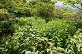 Veratrum album subsp. oxysepalum 23.jpg