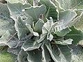 Verbascum Arctic Snow - Flickr - peganum.jpg