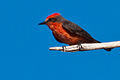Vermilion Flycatcher - male.jpg