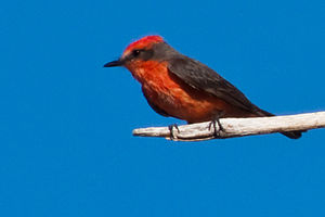 Desert Studies Center - Vermilion flycatcher, summer resident (breeds) at the Zzyzx Desert Studies Center