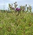 Vernonia missurica.jpg