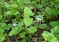 Veronica montana kz09.jpg