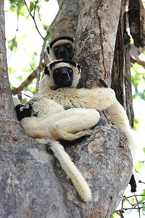 Verreauxs Sifika Kirindy Madagascar.jpg