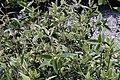Viburnum x pragense 4zz.jpg