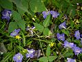 Vigna radiata var. setulosa (Dalzell) Ohwi & Ohashi (21950417553).jpg