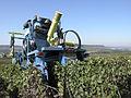 Vigne Pinot Noir (Efeuillage) Festigny Cl.J.Weber15 (23569181332).jpg