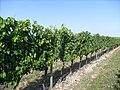 Vignobles à Chérac.jpg