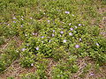 Vinca major (Barlovento) 02.jpg