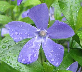Vinca minor closeup.jpg
