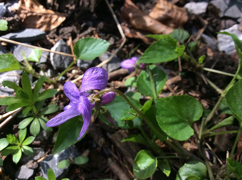 File:Viola reichenbachiana Bremgartenwald.JPG