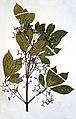 Vitex lokundjensis-2003-Herbier du jardin botanique Meise (2).jpg
