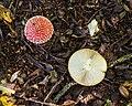 Vliegenzwammen (Amanita muscaria) (d.j.b.) 02.jpg
