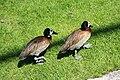 Vogelpark Walsrode - Freiflughalle - Dendrocygna viduata 01 ies.jpg
