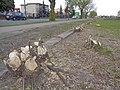 Włocławek-cut tree.jpg