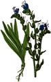 WWB-0062-026-Echium vulgare-crop.png