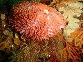 Walking anemone at the wreck of the Pietermaritzburg P7260755.JPG