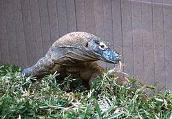 Washington DC Zoo - Komodo Dragon 3.jpg