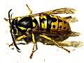 Wasp (257224487).jpeg