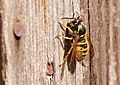 Wasp On Wood (41677280).jpeg