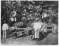 Water buffaloes and cart on the road from Piti to Agana (circa 1900).jpg