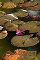 "Water lily, ""After glow"" - Flickr - nekonomania.jpg"