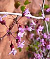 Western Redbud Flowers - Flickr - brewbooks.jpg