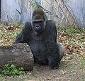 Western lowland gorilla seated (4530704187).jpg