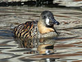 White-backed Duck RWD3.jpg