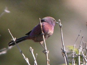 Aegithalidae - In contrast to most of the family the white-browed tit-warbler has brightly coloured plumage