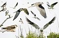 White-tailed Kite From The Crossley ID Guide Eastern Birds.jpg