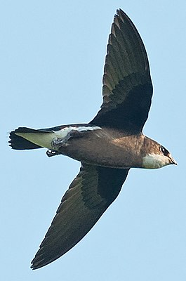 White-throated needletail Hunting over Wolotschajewka Perwaja (cropped).jpg