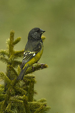 White-winged Grosbeak - Almaty - Kazakistan S4E4090 (22417234274).jpg