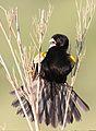 White-winged widowbird, Euplectes albonotatus, at Zaagkuildrift Road near Kgomo Kgomo, Limpopo, South Africa (30769830343).jpg
