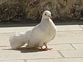 White bird-Jerusalem.jpg