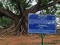 White silk cotton tree- LAL Bhag- Bengaluru 02.jpg