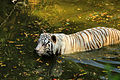 White tiger swim 1.jpg