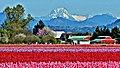 Whitehorse Mountain seen from Skagit Valley tulip fields.jpg