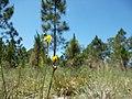 Wild Flowers - panoramio (8).jpg
