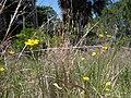 Wild Flowers - panoramio (9).jpg