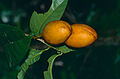 Wild Fruits (14520019236).jpg