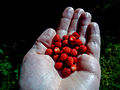 Wild strawberries (9288885805).jpg