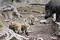Wildschwein mit Jungtieren im Wildpark Betzenberg.jpg