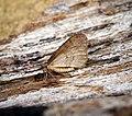 Winter Moth (31431403951).jpg