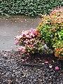 Winter flowers, camelia 2.jpg